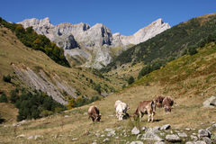 Mountain cows. Cows on a meadow high up in the Spanish Pyrenees mountains Stock Photography