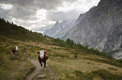 Mountain cows Royalty Free Stock Photo