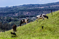 Mountain Cows. Cows eating over a mountain with small town in the background Royalty Free Stock Photography