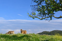 Mountain Cows Royalty Free Stock Images