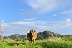 Mountain Cows Stock Photo