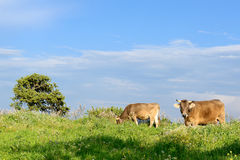 Mountain Cows Stock Photography