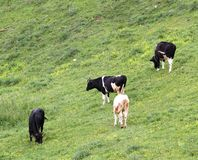 Mountain cows grazing in a meadow outside Stock Photo