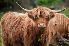 Mountain cows on the Isle of Lewis and Harris in Scotland stock photos