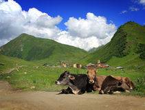 Mountain cows Stock Photography
