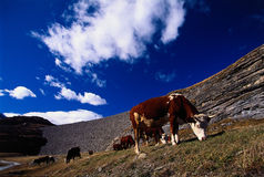 Mountain cows pasture Stock Photos