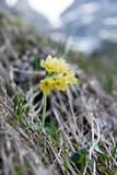 Mountain cowslip - spring flowers in the German Alps Stock Photos