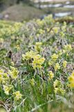 Mountain cowslip - spring flowers in the German Alps Royalty Free Stock Images
