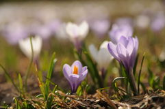 Mountain crocus field in the Austrian Alps Stock Images