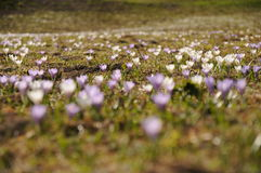 Mountain crocus field in the Austrian Alps Royalty Free Stock Image