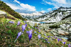 Mountain Crocuses on a Steep Slope Royalty Free Stock Photography