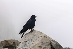 Mountain crow bird in the bavarian alps near germany highest point Zugspitze wildlife black and white Royalty Free Stock Image