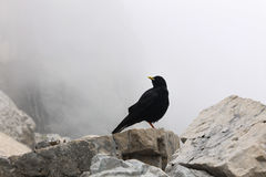 Mountain crow bird in the bavarian alps near germany highest point Zugspitze wildlife black and white Stock Photography
