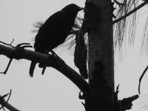 Mountain Crow silhouette. Black & white silhouette  of a Mountain Crow sitting on a tree in Shimla Stock Photos