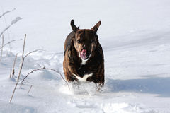 Mountain Cur dog. Closeup of Mountain Cur dog running through snow Royalty Free Stock Images