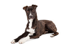 Mountain Cur Dog Laying Looking Forward Royalty Free Stock Photo