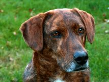 Mountain Cur Hound. Head shot of mountain cur hound dog colored brown & brendle, with green grass as background Stock Images