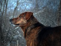 Mountain Curr Dog. With black and tan fur coat Royalty Free Stock Image