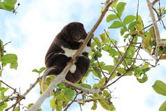 Mountain Cuscus. A Mountain cuscus climbing a guava tree in Papua New Guinea Stock Photo
