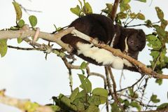 A Mountain Cuscus climbing a guava tree Royalty Free Stock Photography
