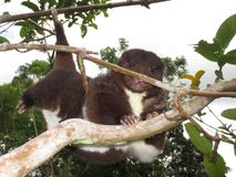 Mountain cuscus climbing. A mountain cuscus uses its prehensile tail as a fifth hand to climb to another branch of the guava tree in Papua New Guinea Stock Photos
