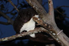 A Mountain Cuscus climbs guava tree at night. This nocturnal mountain cuscus in Papua New Guinea climbs a guava tree Royalty Free Stock Photo