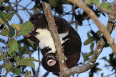 A Mountain Cuscus eating leaves in a guava tree Royalty Free Stock Image