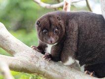 Mountain Cuscus in a Guava tree Stock Photo