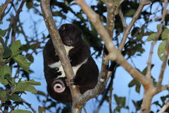 A Mountain Cuscus in a guava tree Stock Photos