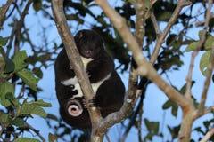 A Mountain Cuscus in a guava tree Stock Photos
