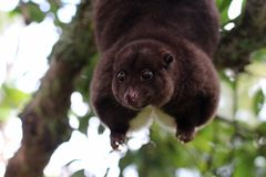 Mountain Cuscus Hanging from Tree Branch. This mountain cuscus uses its prehensile tail to hang from a tree branch in order to reach some leaves to eat Royalty Free Stock Photos
