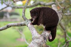Mountain cuscus in Papua New Guinea. This tree dwelling marsupial in Papua New Guinea is a mountain cuscus stock photo