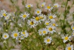 Mountain Daisies at Grand Lake, Colorado. Mountain daisies with a couple bees at Grand Lake, Colorado royalty free stock image