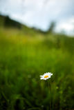 Mountain daisy flower with copyspace Stock Photos