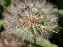 Mountain Dandelion seeds Royalty Free Stock Photo
