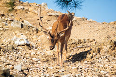 Mountain deer down from the cliffs in the National Park of Thassos Royalty Free Stock Image