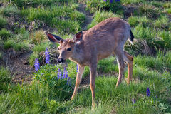 Mountain Deer and Lupine. A Columbian black-tailed deer in the Olympus National Forest in Washington, U.S.A., with purple mountain lupine flowers Stock Photo