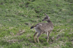 Mountain deer in Olympic National Park forest stock photography