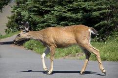 Mountain deer Royalty Free Stock Image