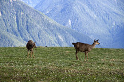 Mountain deers Olympic National Park royalty free stock photos