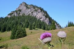 Mountain with detail of thistle. Slovakian Mala Fatra mountain range with detail of purple thistle Stock Photography
