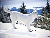 Mountain Dog Royalty Free Stock Photo