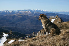 Mountain dog stock photo