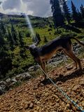 Mountain dog Stock Image