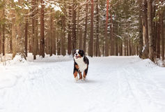 Mountain dog Royalty Free Stock Photography