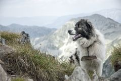 Mountain dog on a high plateau above the peaks. In Retezat Mountains, Romania Royalty Free Stock Images