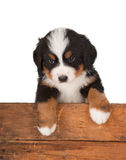 Mountain dog over a fence. Wooden fence with a little 6 weeks old Bernese Mountain dog Royalty Free Stock Photo