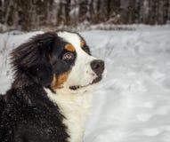 Mountain dog portrait Stock Images