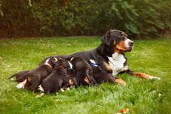 Mountain dog puppies Royalty Free Stock Images