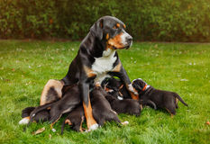 Mountain dog puppies Royalty Free Stock Photo
